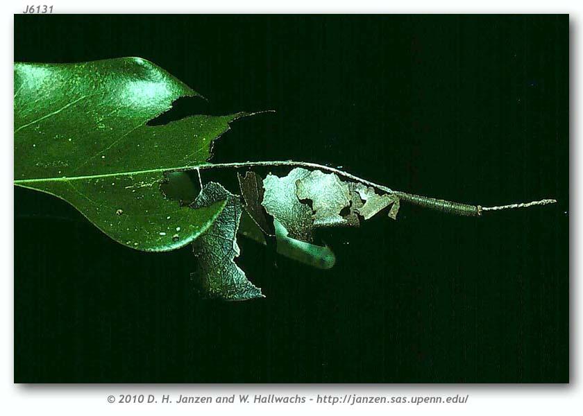 Archaeoprepona demophoon gulina (immatures, page 1).