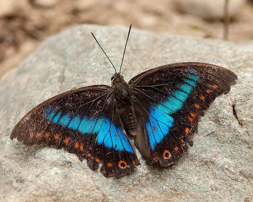 Nymphalidae, elizatorres · iNaturalist.org.