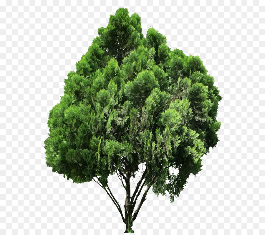 Conifer Tree clipart.