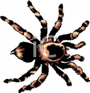 and Brown Tarantula Spider.