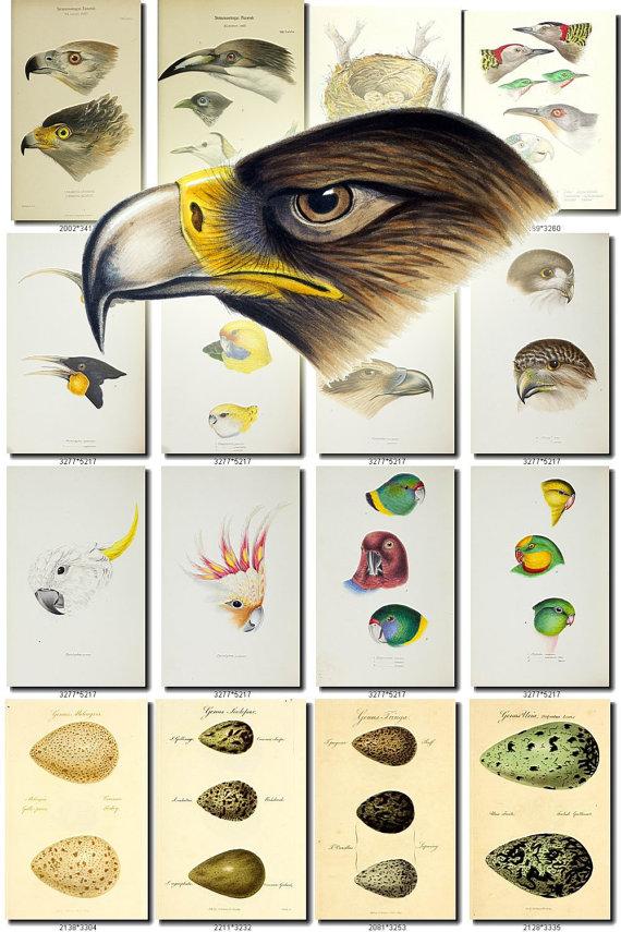 BIRDS EGGS.