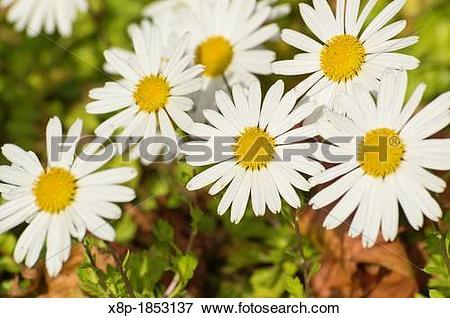 Picture of Arctic chrysanthemum Arctanthemum arcticum syn.