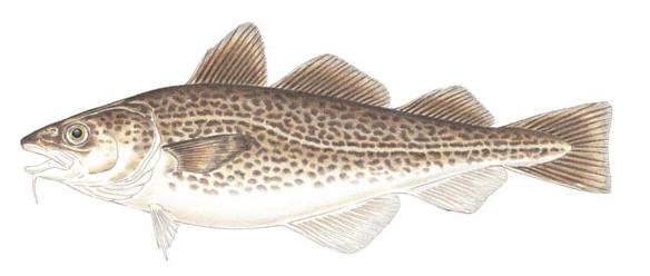 Arctic Fish Clipart.
