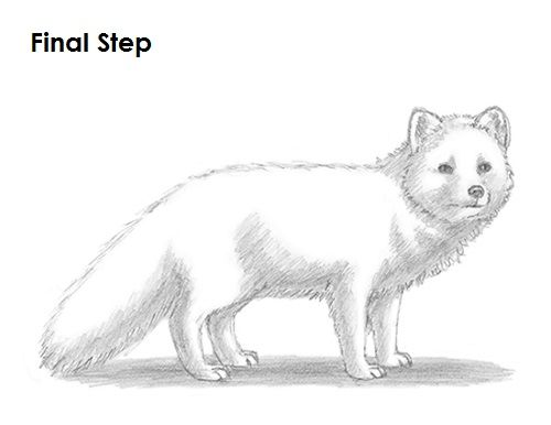 Arctic Fox Drawing Last.
