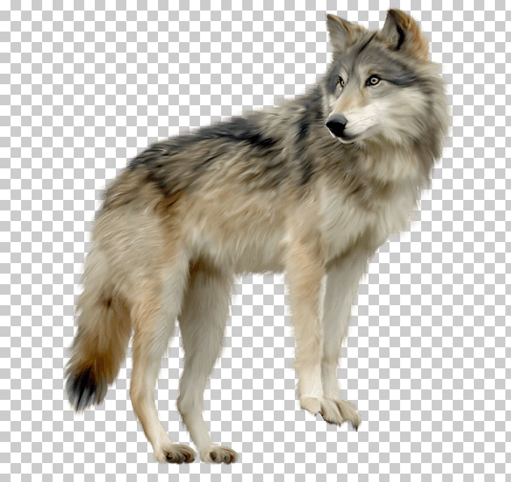 Wolf Looking Sideview, gray wolf PNG clipart.