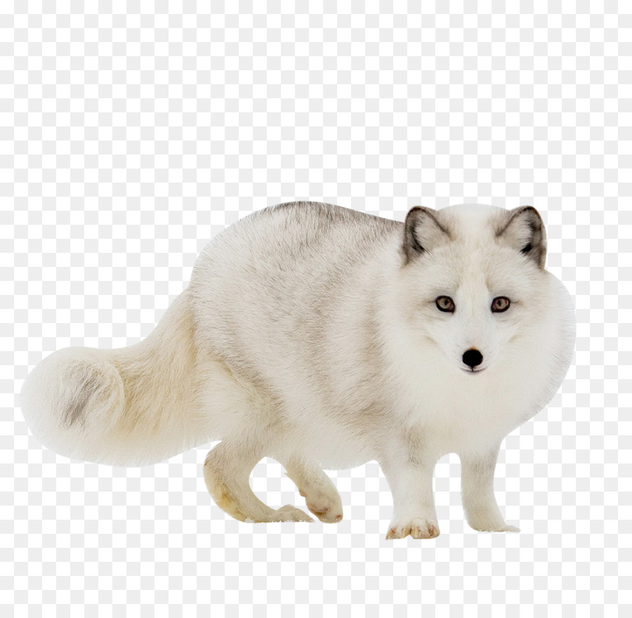 Download Free png Arctic fox Red fox Gray wolf.