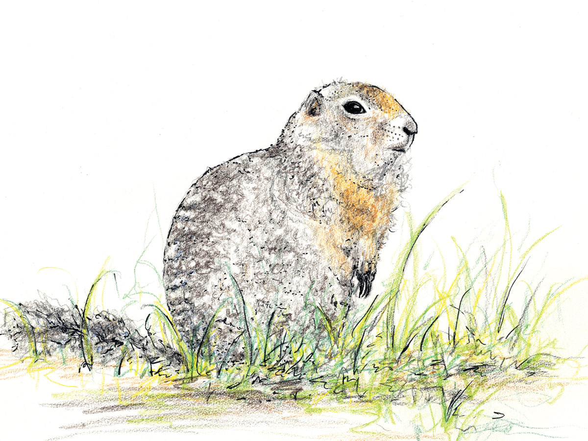 Arctic Ground Squirrel Clip Art.