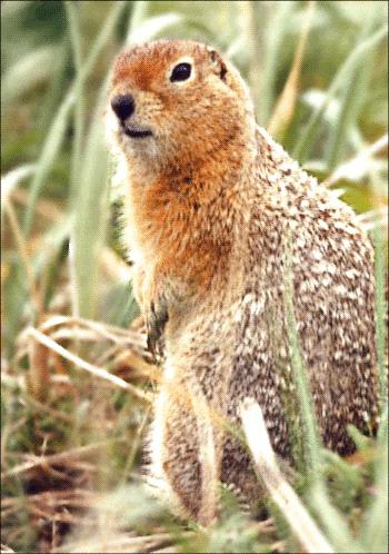 Arctic Ground Squirrel Clip Art Download.