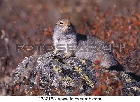 Pictures of Arctic ground squirrel on a rock 1782158.