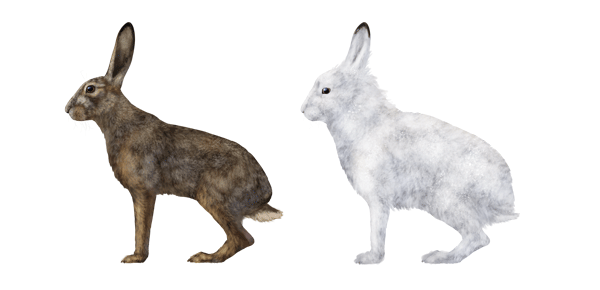 Free Arctic Hare Cliparts, Download Free Clip Art, Free Clip.