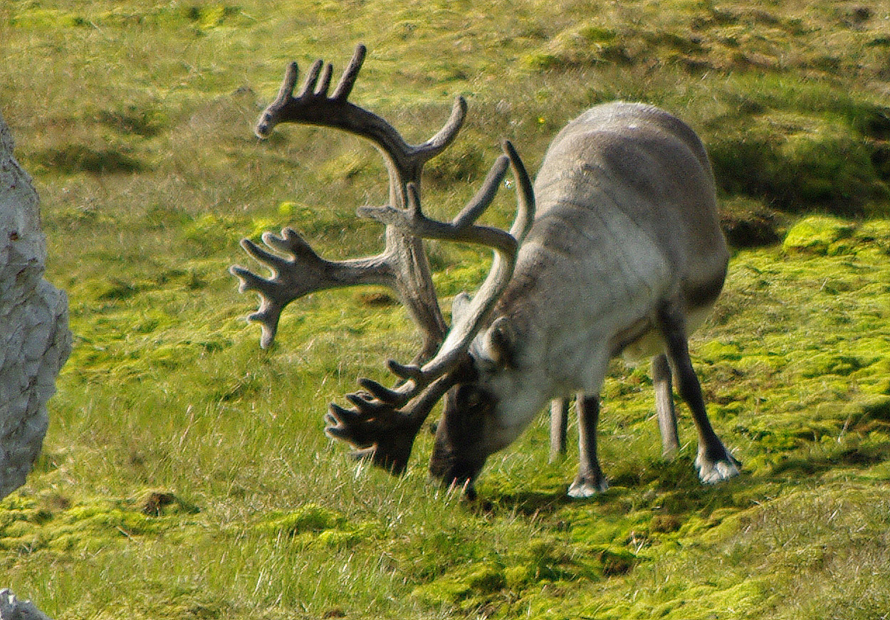 Reindeer of the Arctic, Facts and Adaptations.