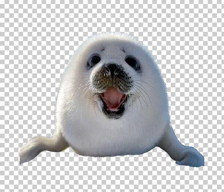 Earless Seal Sea Lion Harp Seal Arctic Dog PNG, Clipart.