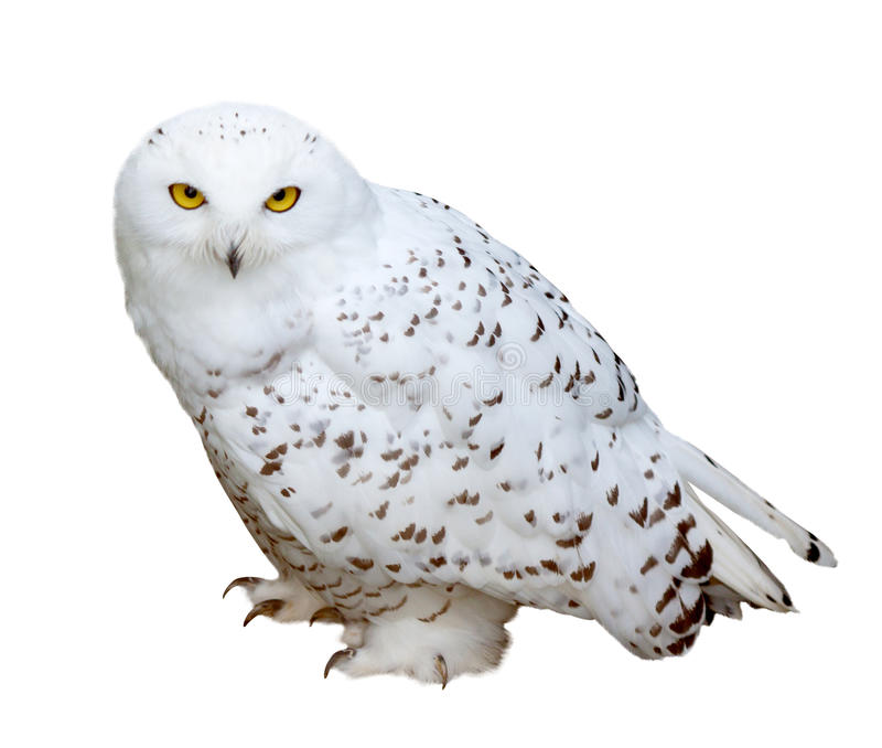 16464 Owl free clipart.