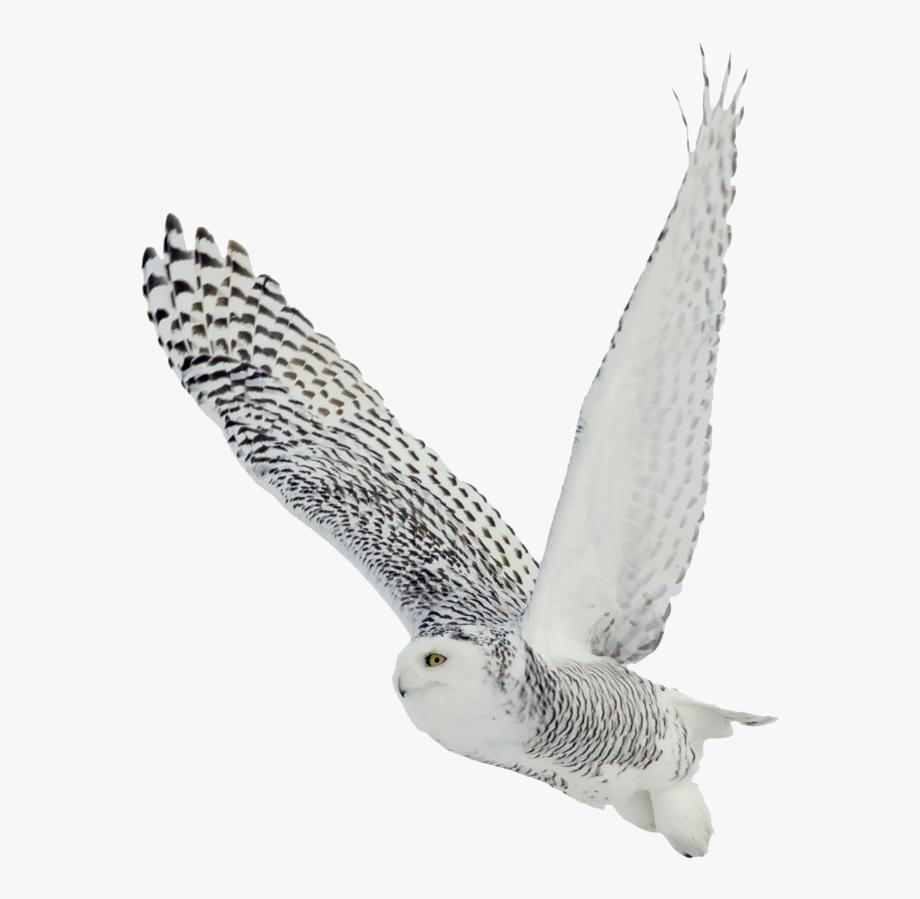 Snowy Owl Clipart Transparent.