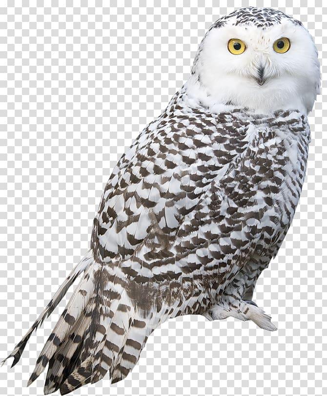 Bird Snowy owl True owl, Owl transparent background PNG.