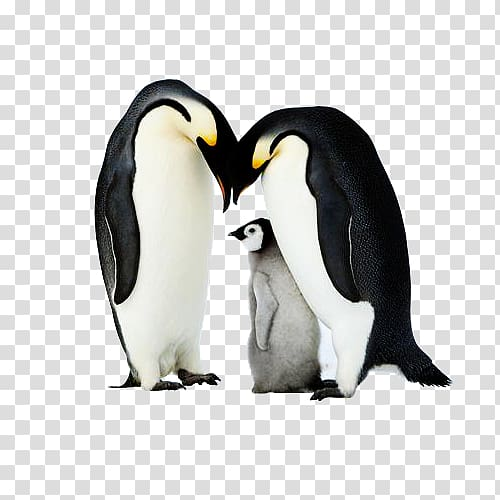 King penguin Antarctica, Three penguins transparent.
