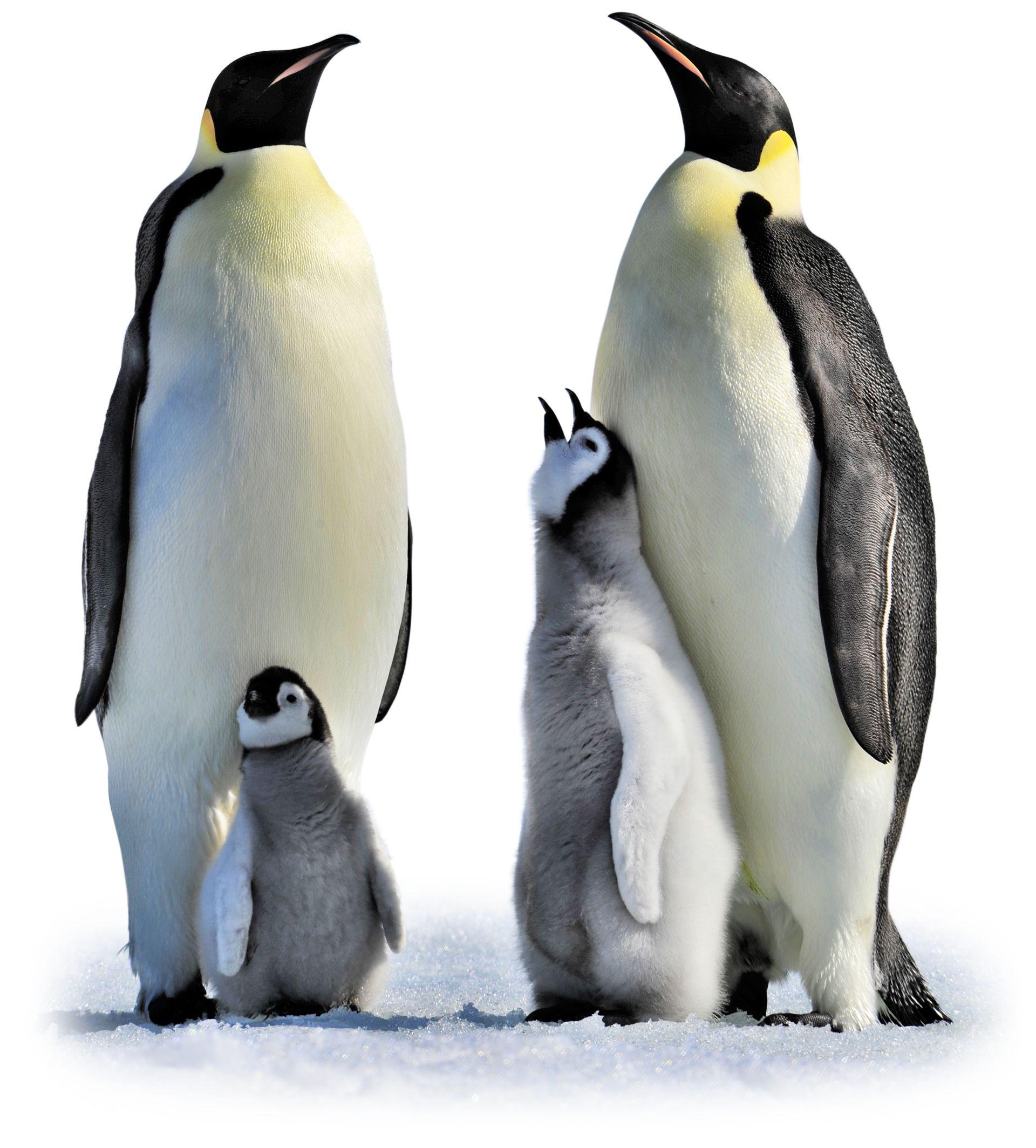 Emperor penguin.