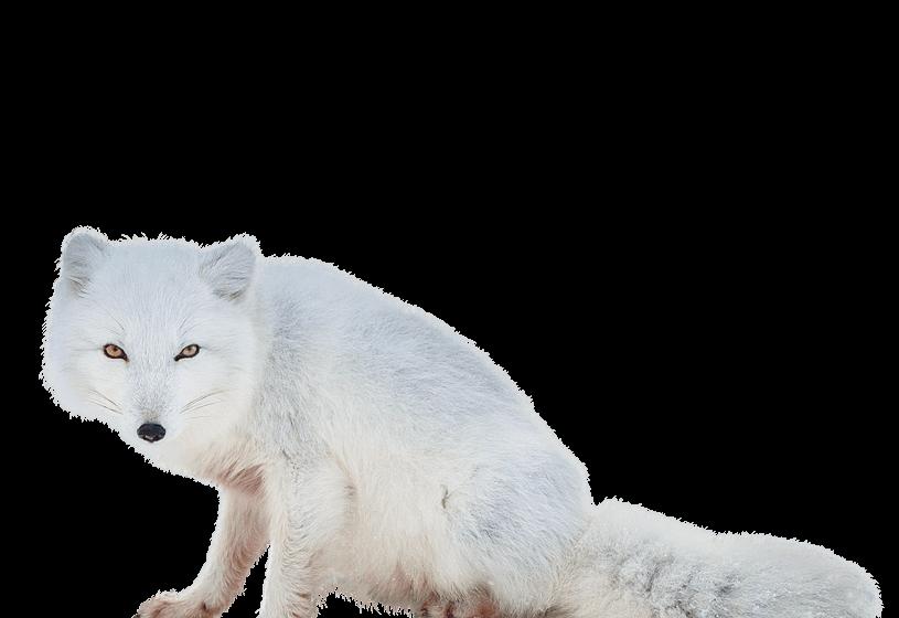 Download Free png Arctic Fox Png.