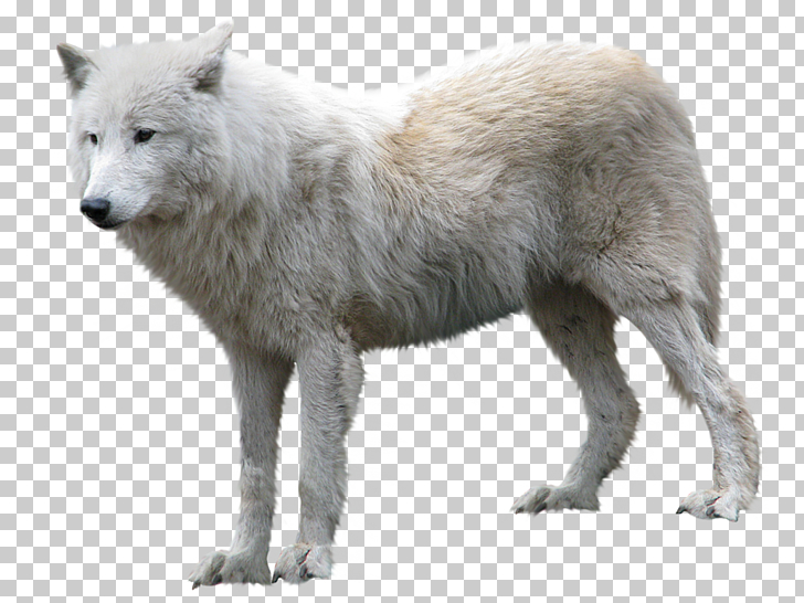 Arctic wolf , Wolf , white wolf PNG clipart.
