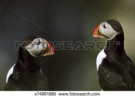 Stock Image of puffin fratercula arctica on cliff.