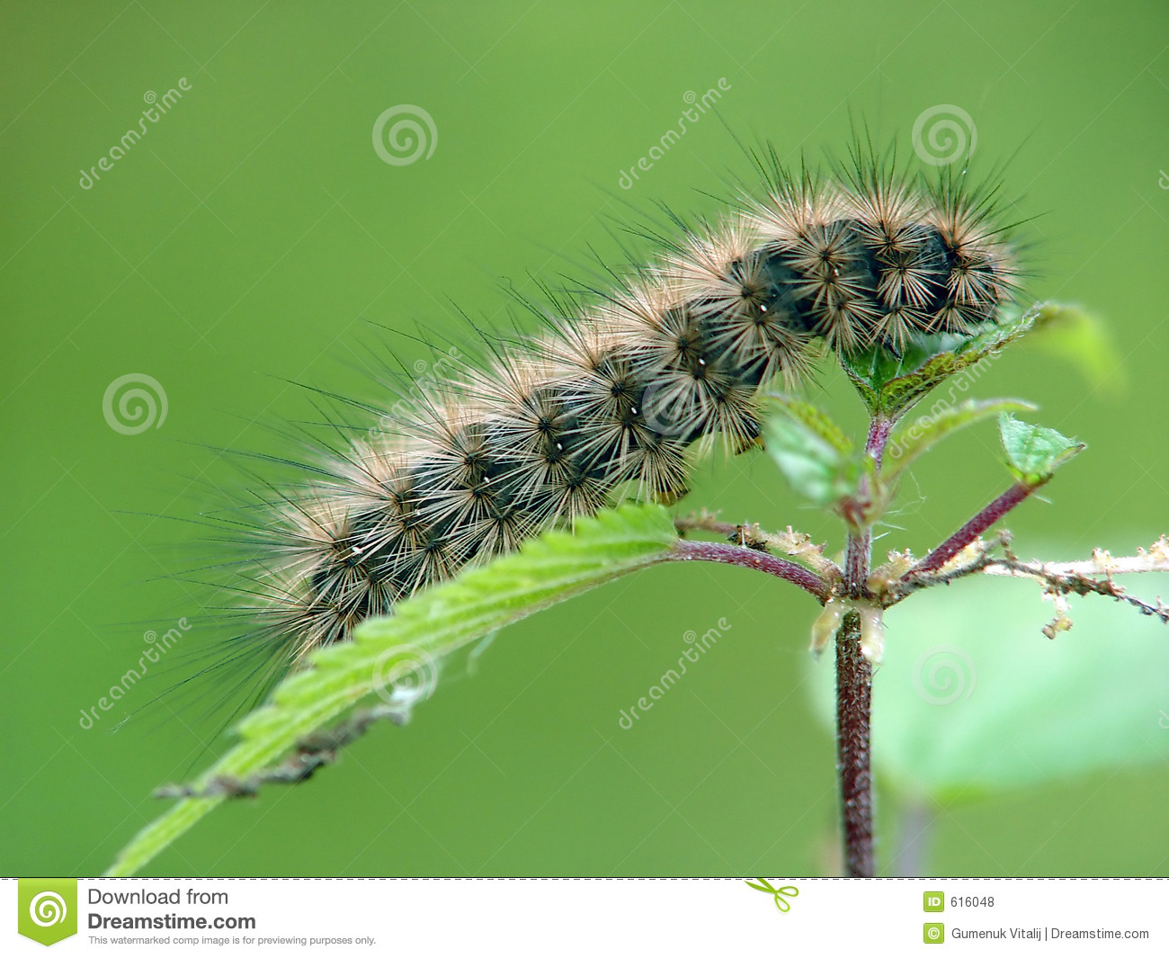 Caterpillar Of The Butterfly Of Family Arctiidae. Royalty Free.