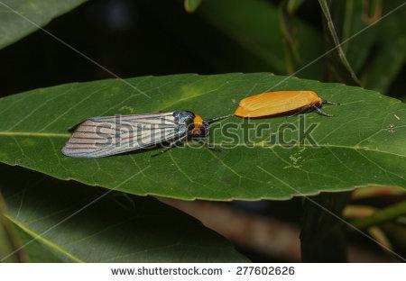 Arctiidae Banco de imágenes. Fotos y vectores libres de derechos.