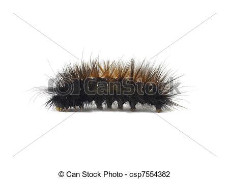 Stock Photo of Woolly Bear Caerpillar Arctiidae.