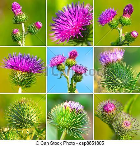 Stock Images of assortment of bur thorny flower. (Arctium lappa.