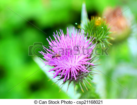 Stock Photo of Burdock thorny flower. (Arctium lappa) on green.