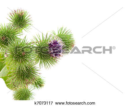 Picture of bur thorny flower. (Arctium lappa) with room for text.