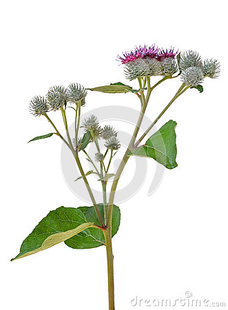 Greater Burdock (Arctium Tomentosum Royalty Free Stock Photo.