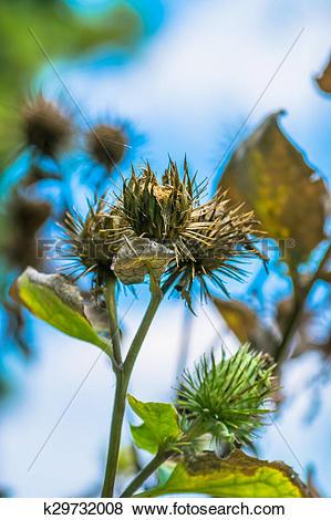 Pictures of Burdock seeds, Arctium lappa k29732008.