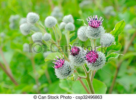 Stock Image of Flowering Great Burdock (Arctium lappa), selective.