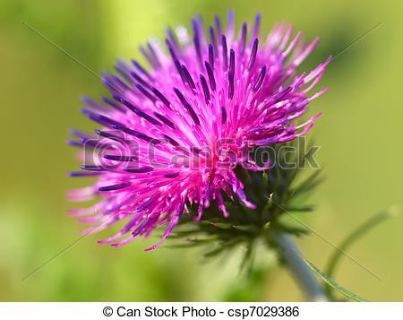 Stock Image of bur thorny flower. (Arctium lappa) on green.