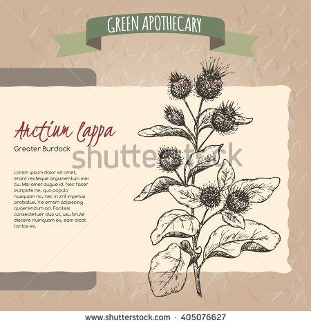 Arctium Lappa Stock Photos, Royalty.