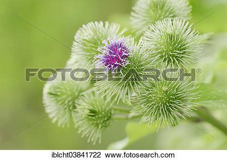 "Stock Photo of ""Greater Burdock (Arctium lappa), blossoms, North."