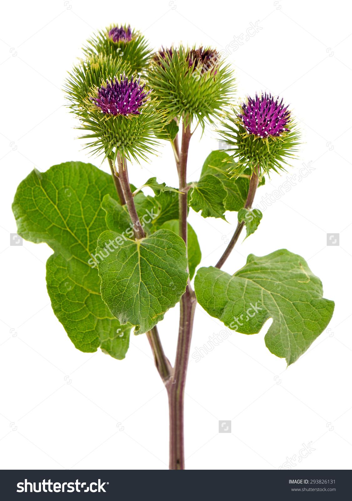 Burdock Plant Arctium Lappa Called Greater Stock Photo 293826131.