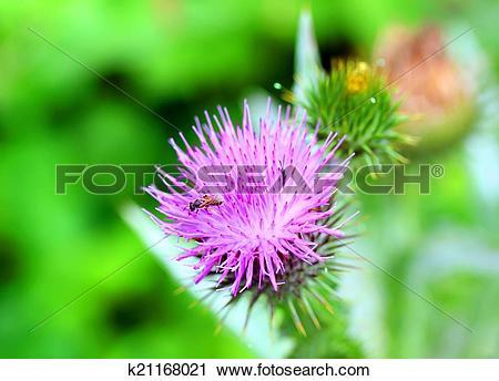 Stock Photography of Burdock thorny flower. (Arctium lappa) on.