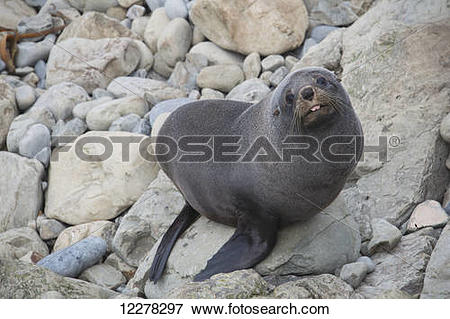 Picture of Fur seal (Arctocephalus forsteri) with tongue.