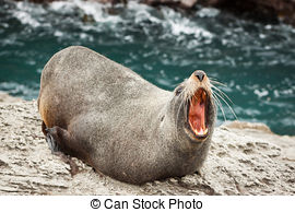 Pictures of New Zealand fur seal (Arctocephalus forsteri.