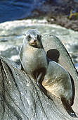 Pictures of new zealand fur seal: arctocephalus forsteri portrait.