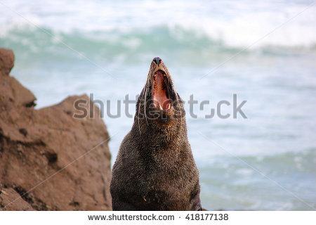"yawning Seal"" Stock Photos, Royalty."