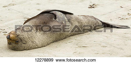 Stock Photograph of New Zealand fur seal (Arctocephalus forsteri.