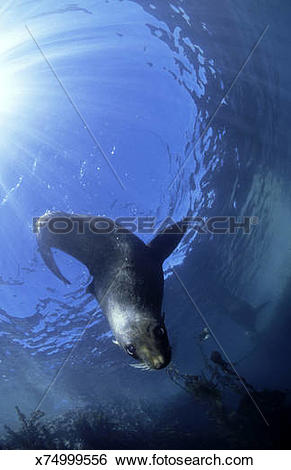 Stock Images of new zealand fur seal: arctocephalus forsteri.