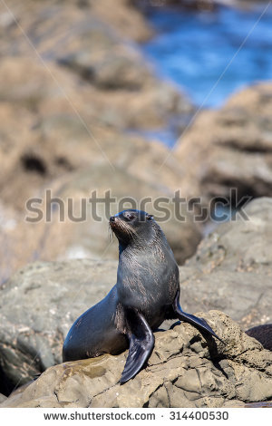 Arctocephalus Forsteri Stock Photos, Images, & Pictures.