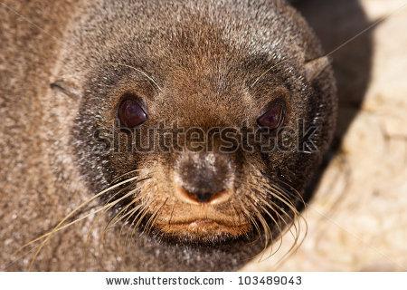 New Zealand Fur Seal Stock Photos, Royalty.