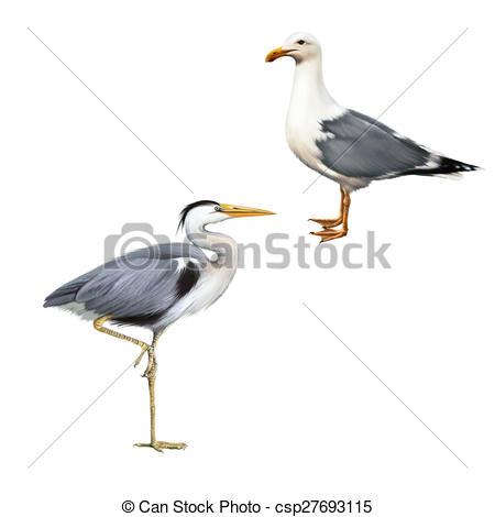 Clipart of Grey Heron, Ardea Cinerea, white bird seagull.