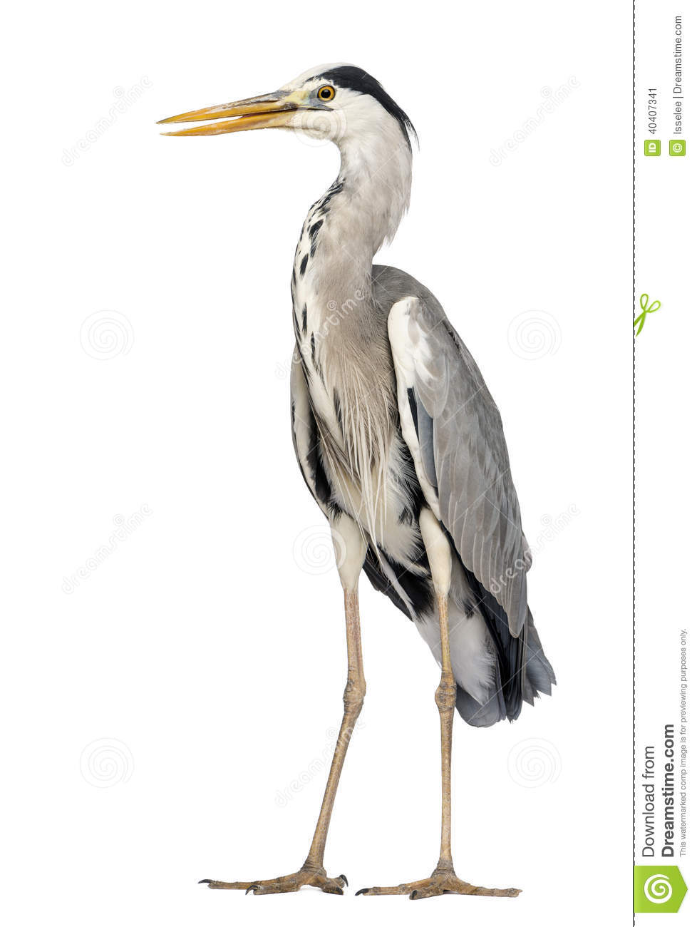 Grey Heron Standing, Beak Opened, Ardea Cinerea, 5 Years Old Stock.