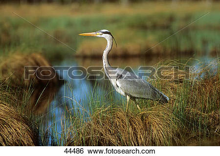 Stock Images of grey heron.
