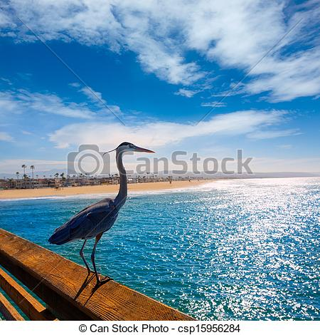 Pictures of Blue Heron Ardea cinerea in Newport pier California.